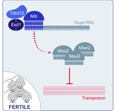 Tdrd12-Exd1 complex enhances biogenesis of MIWI2 piRNAs
