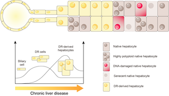 Reactive cholangiocytes differentiate into proliferative hepatocytes with efficient DNA repair in mice with chronic liver injury