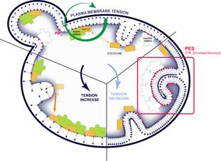 TORC2 maintains plasma membrane tension homeostasis