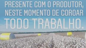 AGRO NEGÓCIO   Colheita de algodão iniciando