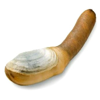 Geoduck Clam (USA)/ 1.5-2.0lbs