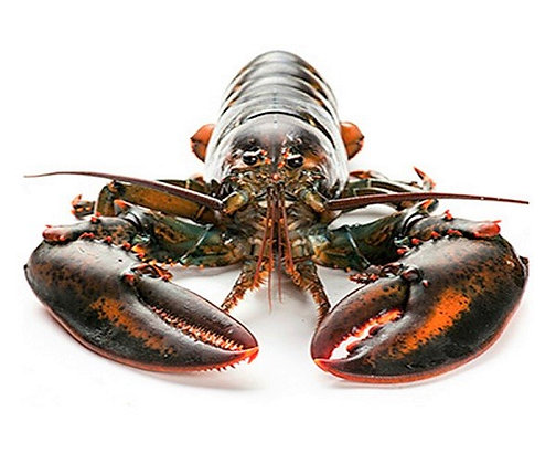 Giant Maine Lobster (Canada)/ 1.3kg-1.6kg/ 1nos