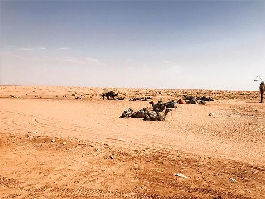 Balade à dromadaire à Ksar Ghilane dans le désert départ de Djerba
