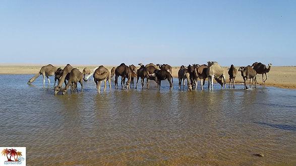 Les dromadaires dans le désert tunisien.jpg