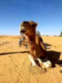Dromadaire dans le désert à Douz. JPG