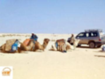 Départ des dromadaires dans le désert tunisien.jpg