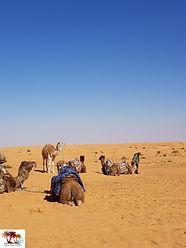 Dromadaires dans le désert tunisien.jpg