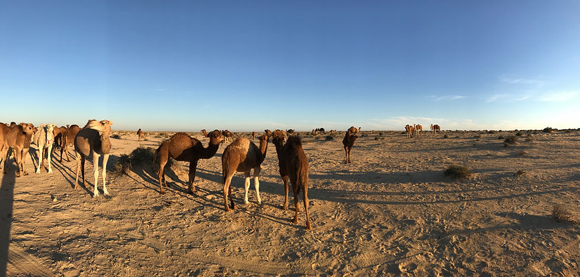 Excursion dromadaire de Tozeur au Désert Tunisie