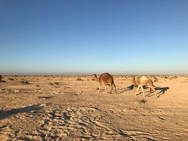 Les Dromadaires dans le désert à Douz.