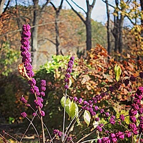Native shrub border