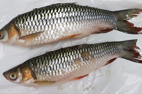 Sultan Fish (苏丹鱼) (~1.3kg per piece)