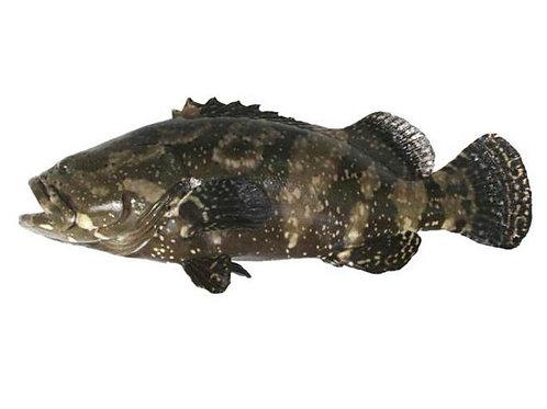 Grouper (石斑鱼), 1.4kg - 1.5kg per piece