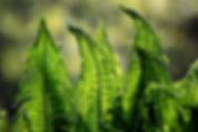 fern-1379020.jpg