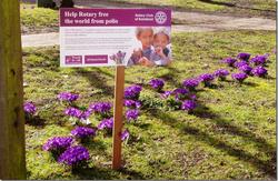 Rotary polio crocuses
