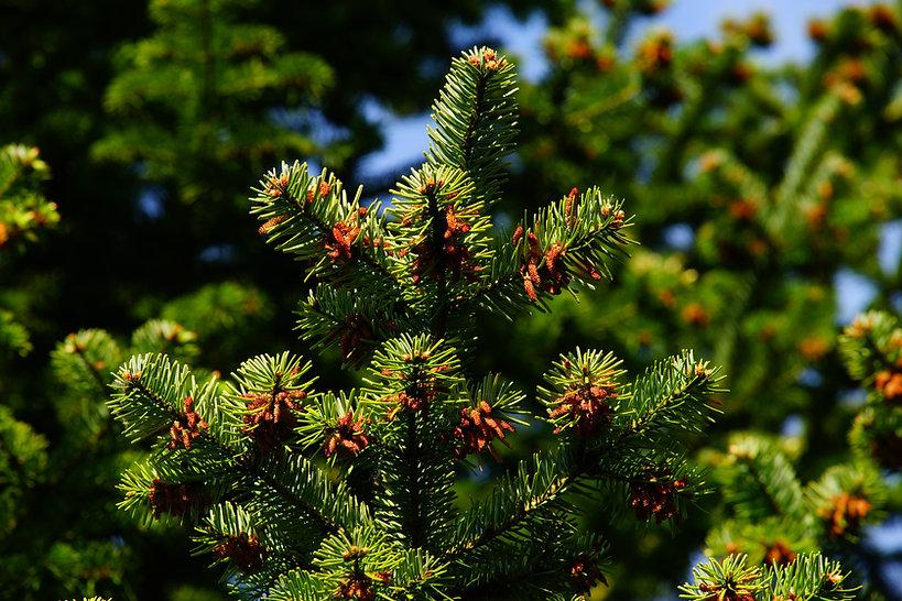 pine-1388608.jpg