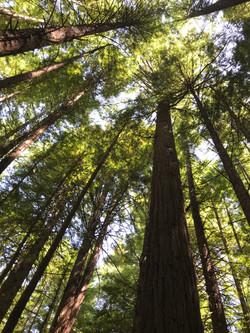 NZ Redwoods