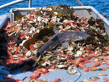 Shrimp Bycatch shark.jpeg