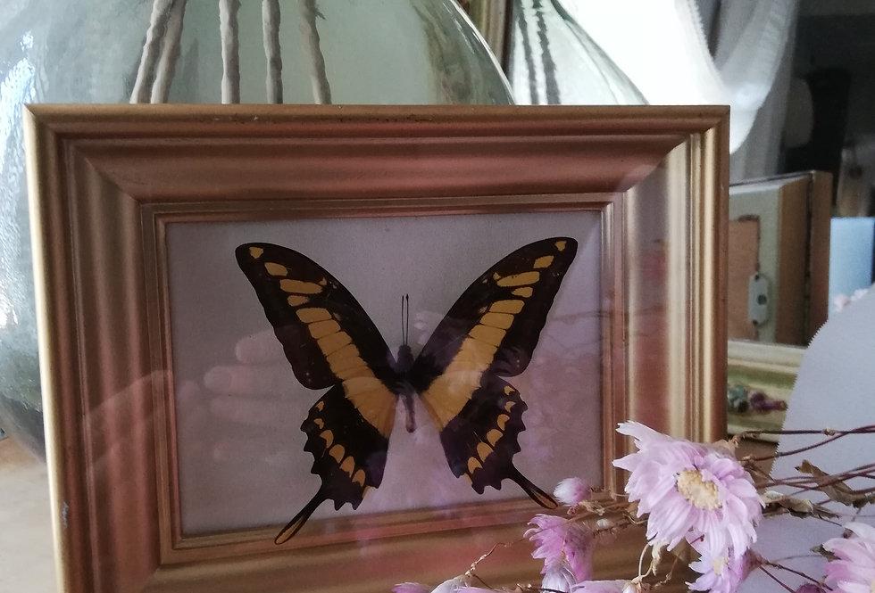 Véritable papillon *voilier géant ou papilio thoas