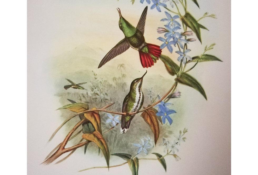 planche ornithologique ancienne colibris