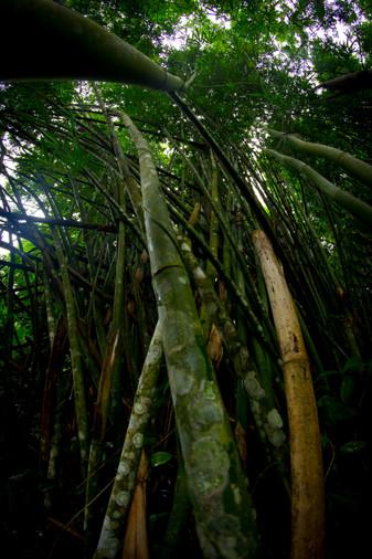 Bambou_armée.jpg