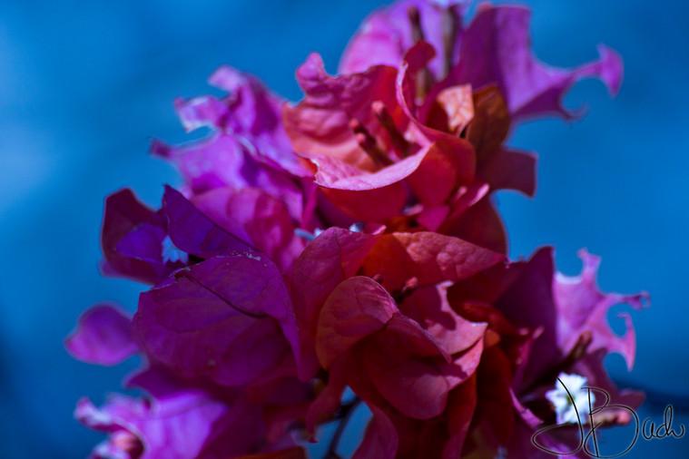Fleur du Sénégal.jpg