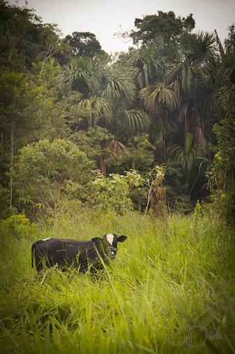 Vache d'Acre.jpg