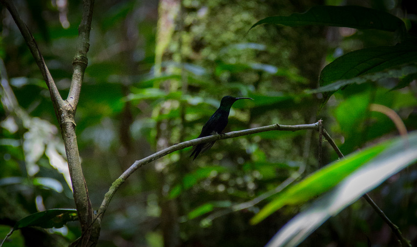 Copain colibri.jpg
