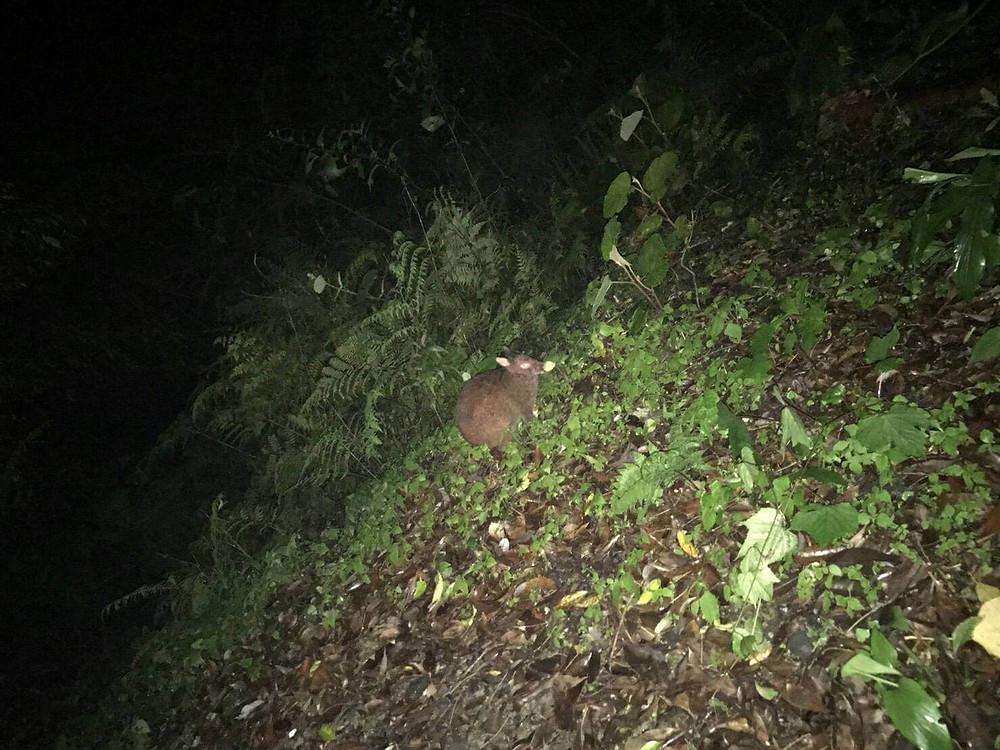 奄美市住用町、夜の森の世界へ『アマミノクロウサギツアー』