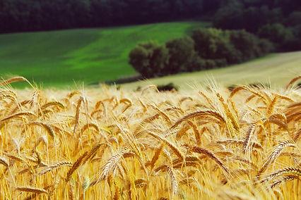 wheat-1995041_1920.jpg