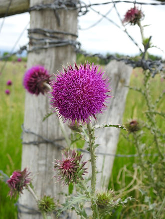 Barbwire and Thistles.jpg