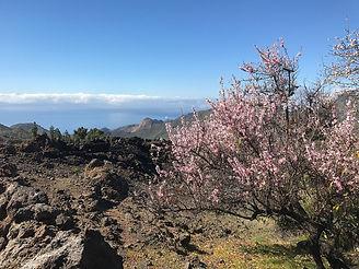 almendros_en_flor_Tenerife3.jpeg