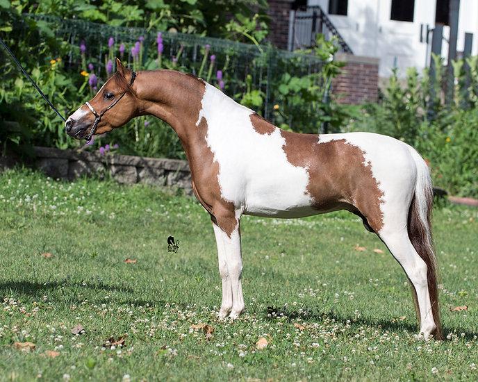 Rhapsody's Impressive Heir - HOF  2011ASPC/AMHR Chestnut Pinto Stallion