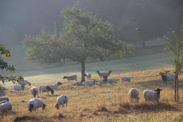 Schafe beim Weiden.