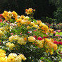 Get Your Roses Through Summer!