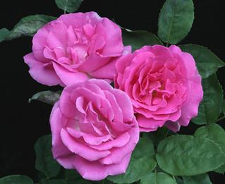 Rose Classifications