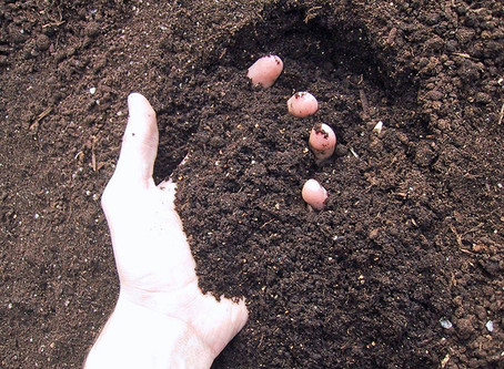 Food for Thought about Fertilizing Roses
