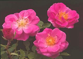 Our Beloved Rose
