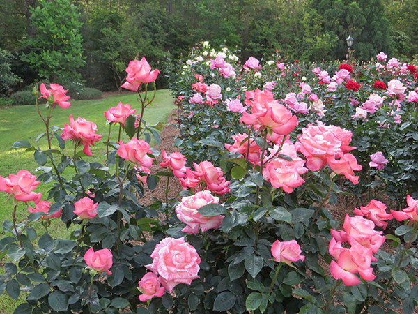 Pruning Roses Essential To Know