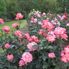 Pruning Roses—essential to know!