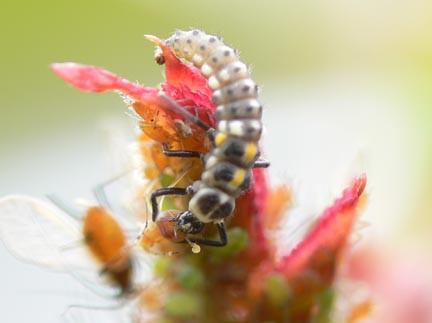 Ladybug larva having a feast of aphids