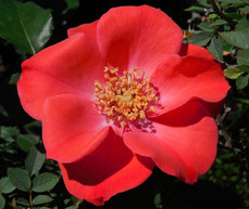 Poppy: The Legacy of the Rose & the Flower