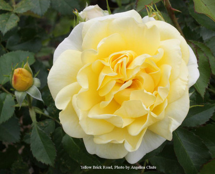 Easy Elegance Roses: Simple, Carefree & Beautiful