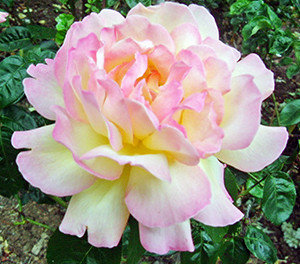 The Romantic Meilland Roses