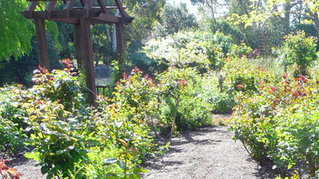 Keeping Roses Healthy in a Drought