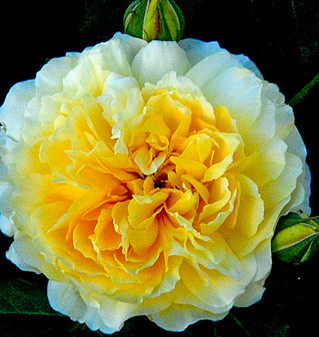 The Fragrance of Roses, Past and Present