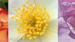 The Ultimate Beauty of Rose Stamens Can Be Ruined in a Day