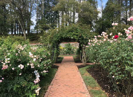 Rose Myths - A New Perspective on Old Wives' Tale