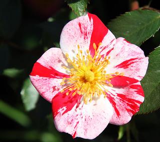 'Dorothy Rose'