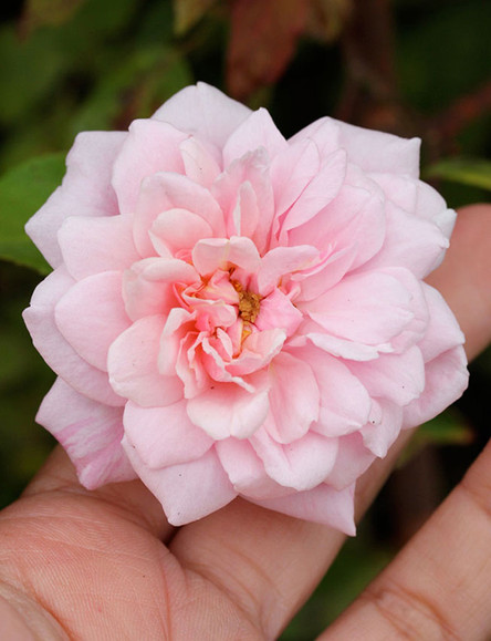 """Mademoiselle Cécille Brünner, The Romance & History of """"The Sweetheart Rose"""""""