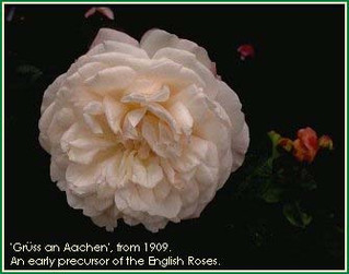 English Roses Before David Austin?